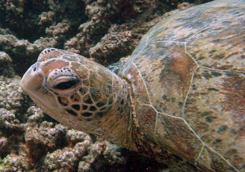 Tartaruga di mare, grande scogliera di barriera fotografia stock
