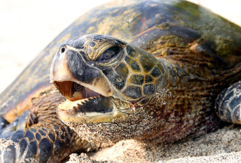 Tartaruga di mare hawaiana immagini stock