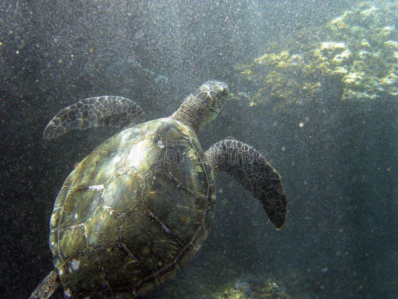 Tartaruga di mare nell'ambito della zona della spuma fotografia stock