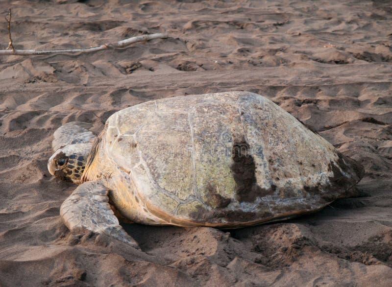 Tartaruga di mare nella sosta nazionale di Tortuguero, Costa Rica immagine stock