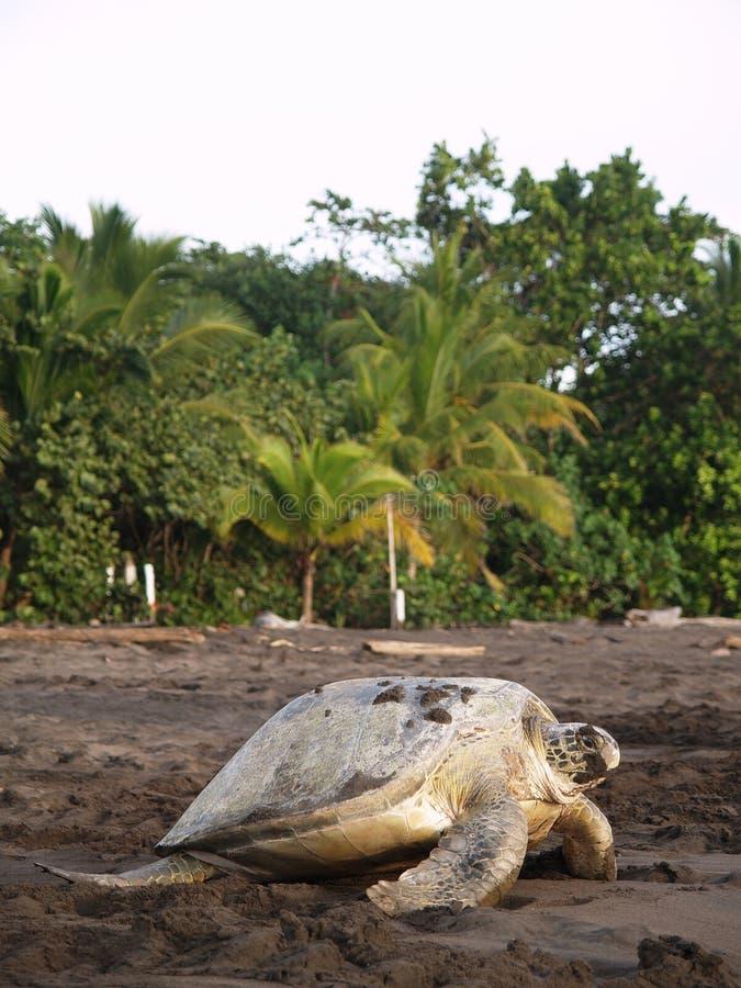 Tartaruga di mare nella sosta nazionale di Tortuguero, Costa Rica fotografia stock