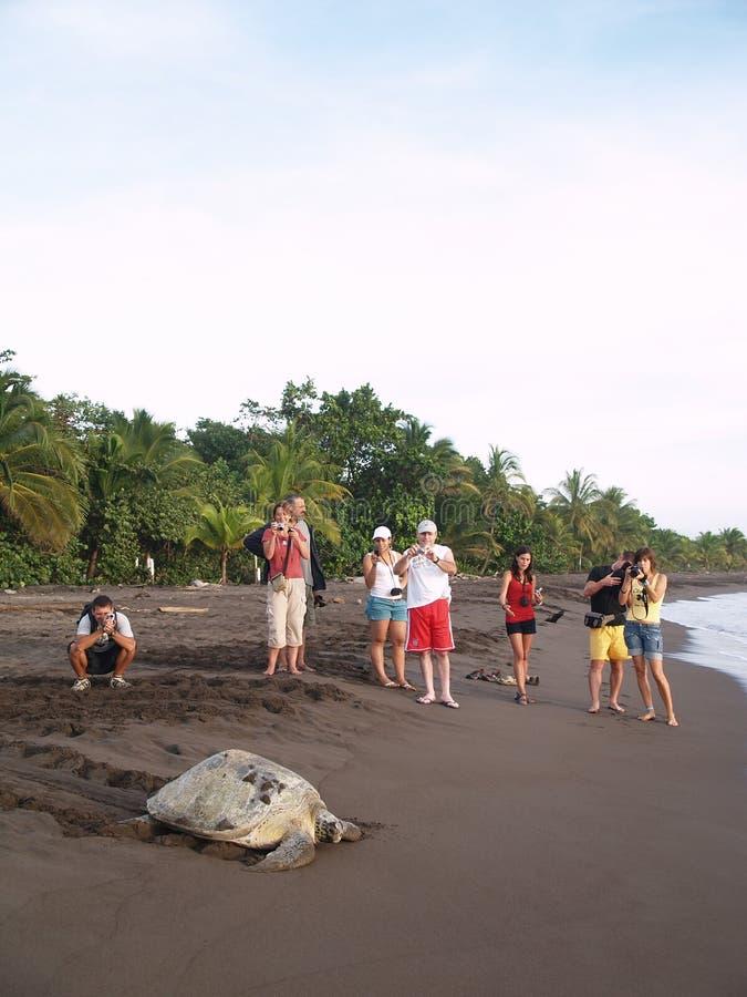 Tartaruga di mare nella sosta nazionale di Tortuguero, Costa Rica fotografie stock