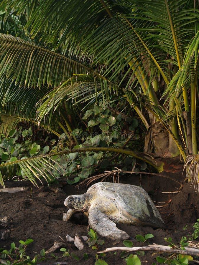 Tartaruga di mare nella sosta nazionale di Tortuguero, Costa Rica immagini stock libere da diritti