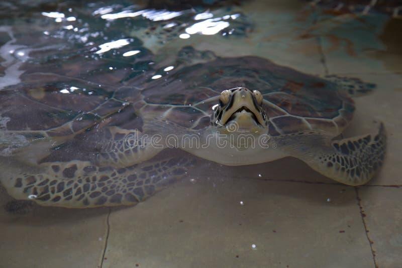 Tartaruga di mare pericolosa del hawksbill dentro un carro armato del santuario dell'acquario immagini stock libere da diritti