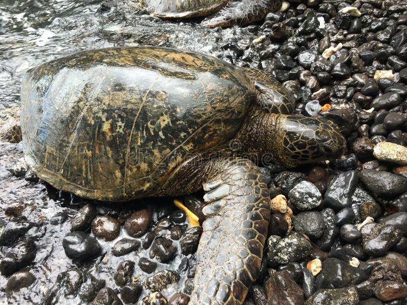 Tartaruga di mare sulle rocce fotografia stock