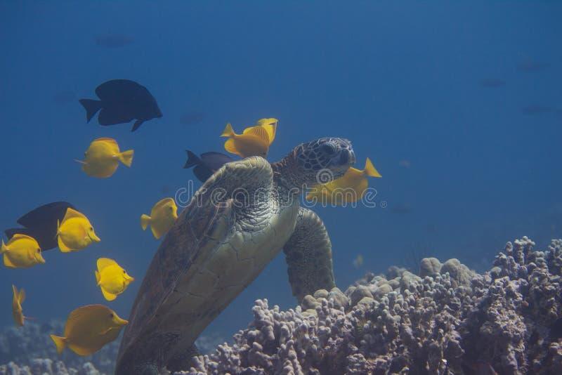 Tartaruga di mare verde che è pulita dagli ascophyllum nodosum e dai sapori di Kole fotografia stock