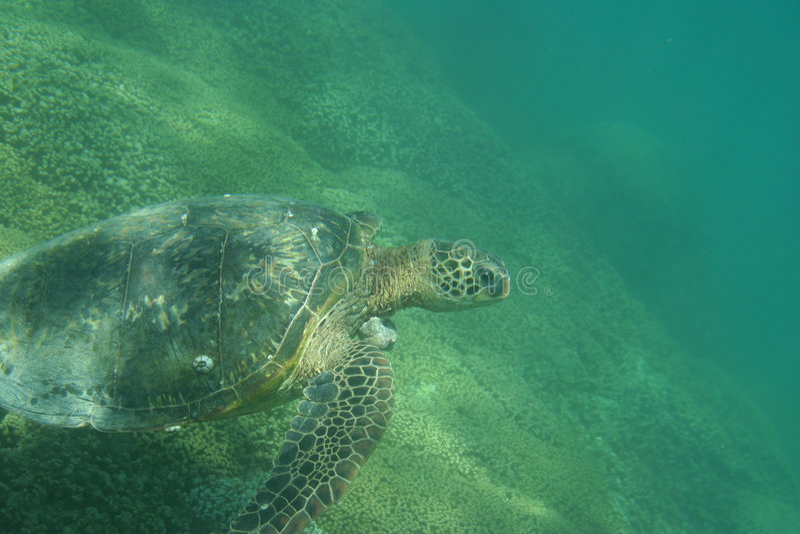 Tartaruga di mare verde hawaiana immagine stock libera da diritti