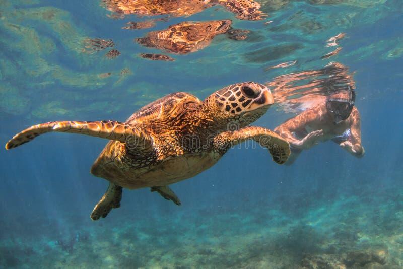Tartaruga di mare verde hawaiana che gira nelle acque calde dell'oceano Pacifico immagini stock