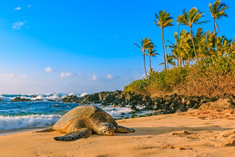 Tartaruga di mare verde hawaiana pericolosa sulla spiaggia sabbiosa al Nord fotografia stock libera da diritti