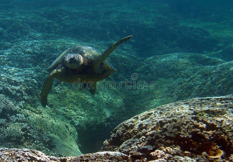Tartaruga di mare verde subacquea fotografia stock