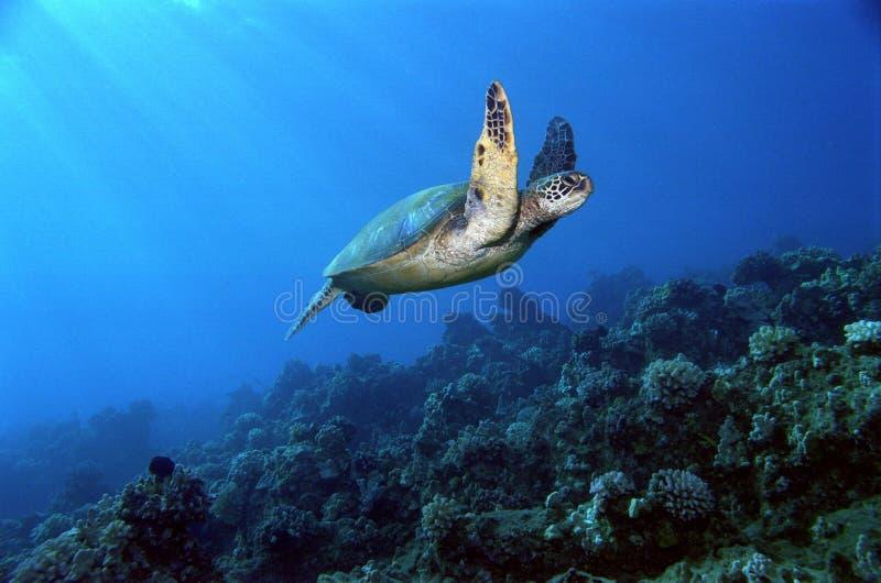 Tartaruga di mare verde subacquea di volo fotografia stock