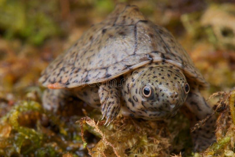 Tartaruga di muschio di Razorback fotografia stock libera da diritti