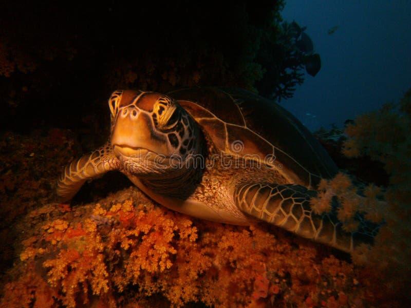 Tartaruga di riposo fotografie stock libere da diritti