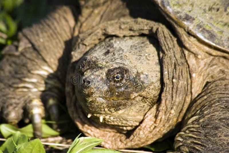 Tartaruga di schiocco fotografia stock