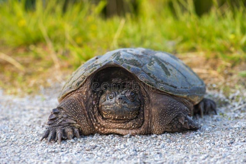 Tartaruga di schiocco comune immagini stock libere da diritti