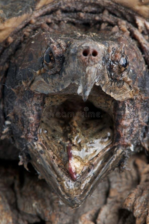 Tartaruga di schiocco del coccodrillo immagini stock libere da diritti
