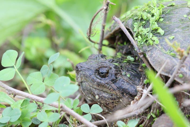 Tartaruga di schiocco nascondentesi fotografia stock libera da diritti
