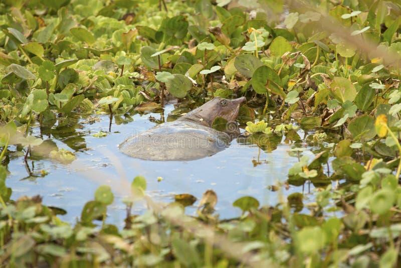 Tartaruga di Softshell in una palude ad Orlando Wetlands Park immagini stock