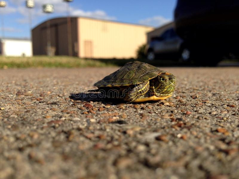 Tartaruga do bebê na estrada fotografia de stock royalty free