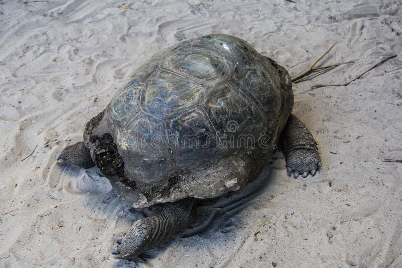 Tartaruga do elefante da ilha de Seychelles Praslin Curieuse foto de stock