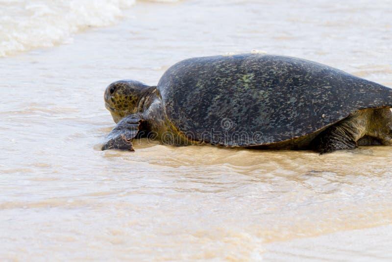 Tartaruga do mar foto de stock