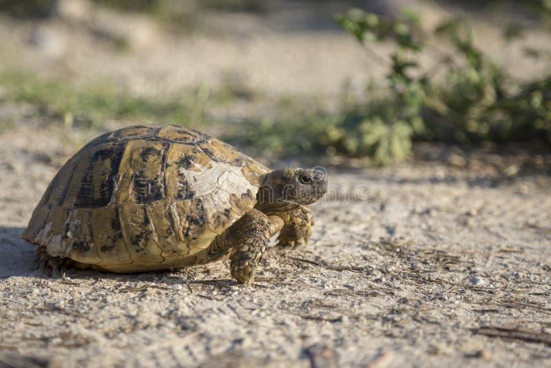 Tartaruga do ` s de Hermann que rasteja na natureza em Bulgária imagem de stock royalty free