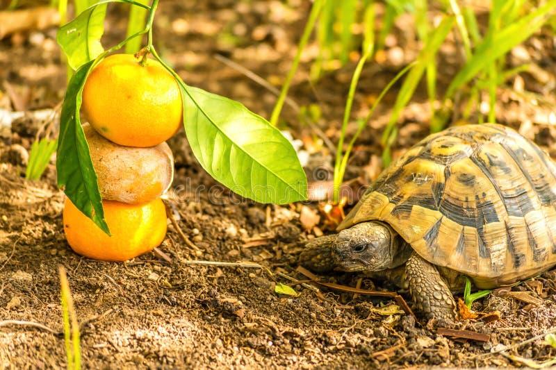 Tartaruga e clementina imagens de stock