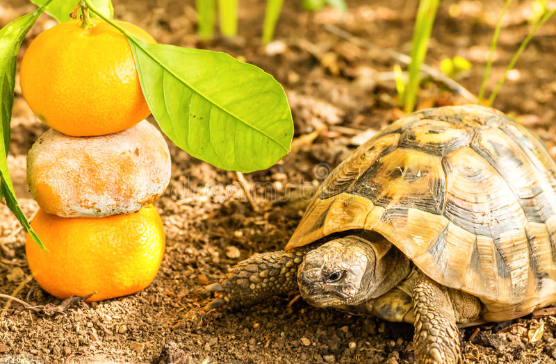 Tartaruga e clementina fotos de stock royalty free