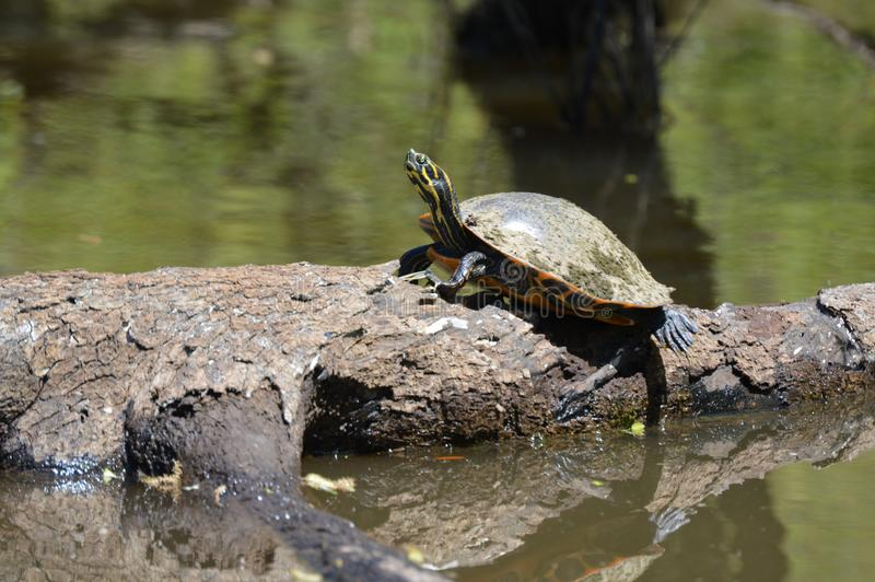 Tartaruga e la sua ceppo fotografie stock libere da diritti