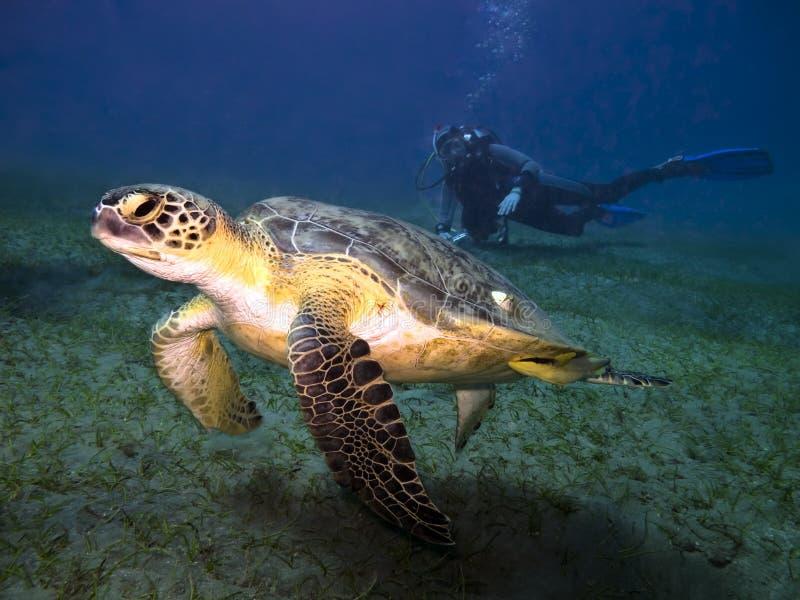 Tartaruga e mergulhador de mar fotografia de stock