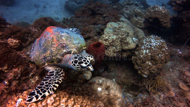 Tartaruga em Perhentian, Malásia imagem de stock
