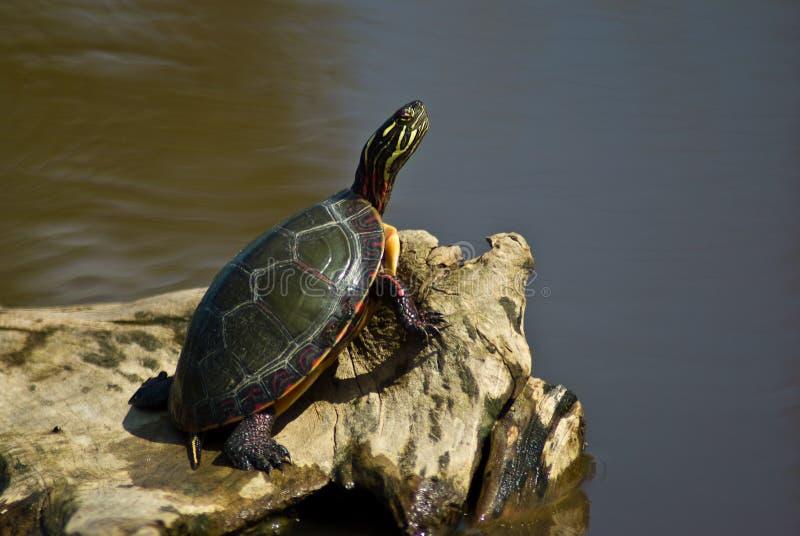Tartaruga em repouso fotografia de stock