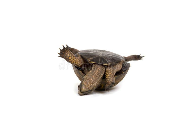 Tartaruga em sua parte traseira no fundo branco foto de stock