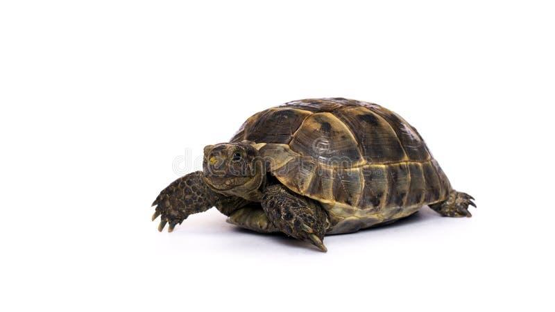 Tartaruga em um fundo branco fotografia de stock