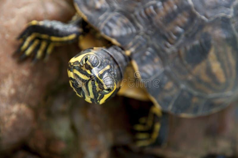 Tartaruga em uma pedra foto de stock
