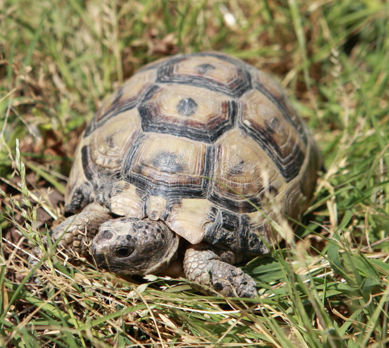 Tartaruga in erba fotografia stock