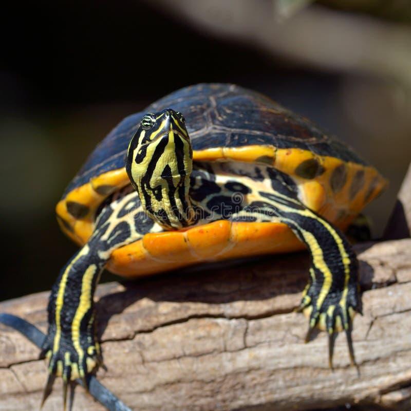 Tartaruga esterna fotografia stock libera da diritti
