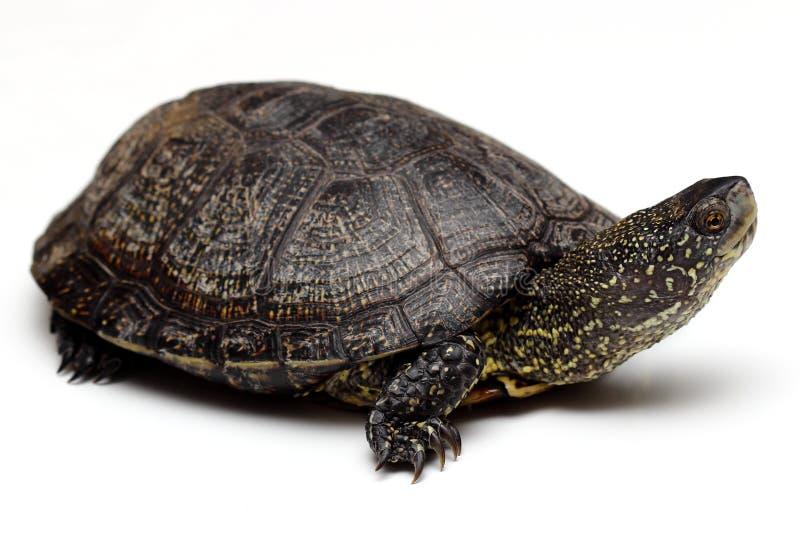 Tartaruga europea dello stagno immagini stock libere da diritti