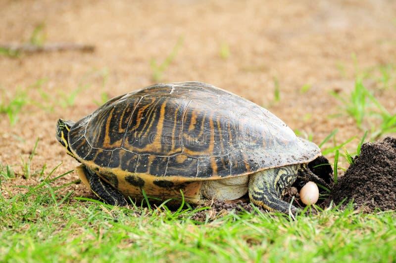 Ovo deixando cair da tartaruga imagens de stock