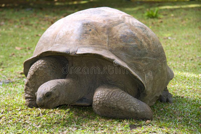 Tartaruga gigante imagens de stock