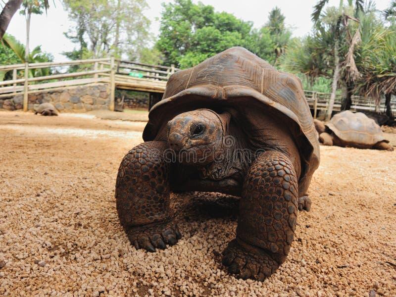 Tartaruga gigante Aldabra fotos de stock royalty free