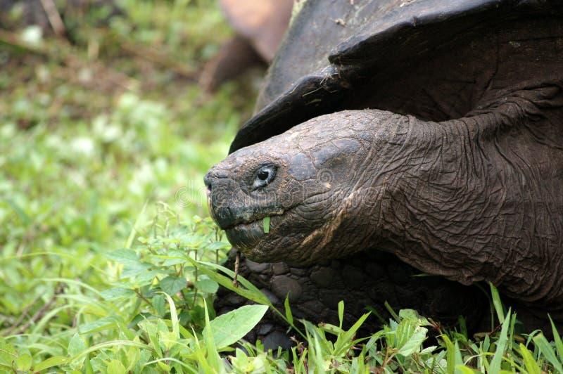 Tartaruga gigante de Galápagos. imagens de stock