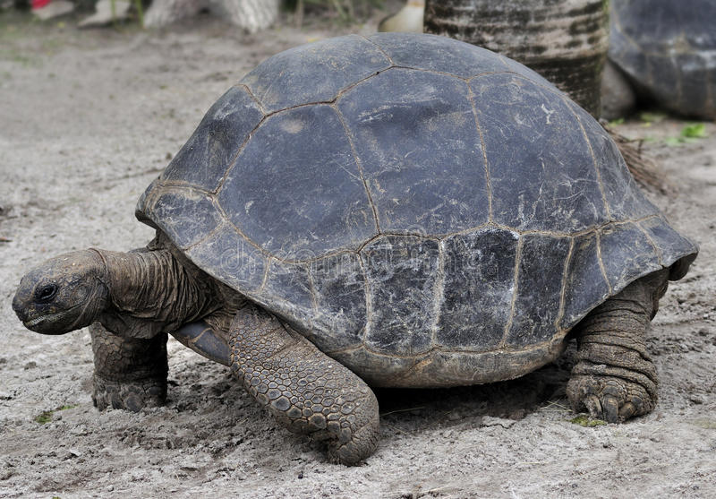 Tartaruga gigante de Galápagos fotografia de stock royalty free