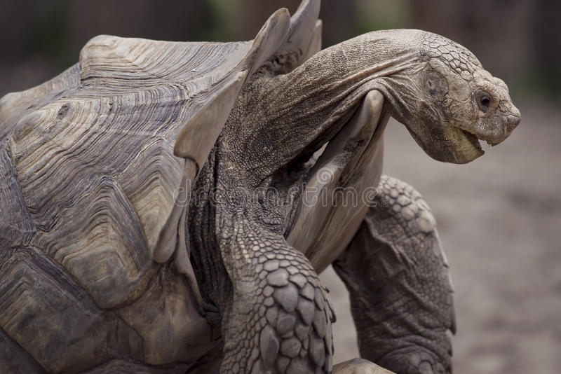 Tartaruga gigante de Galápagos foto de stock royalty free