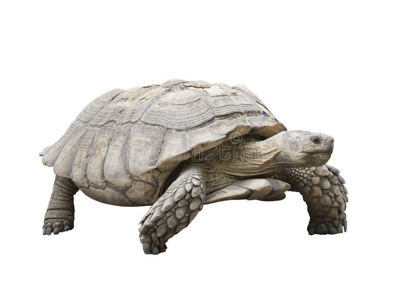 Tartaruga gigante de Galápagos fotografia de stock