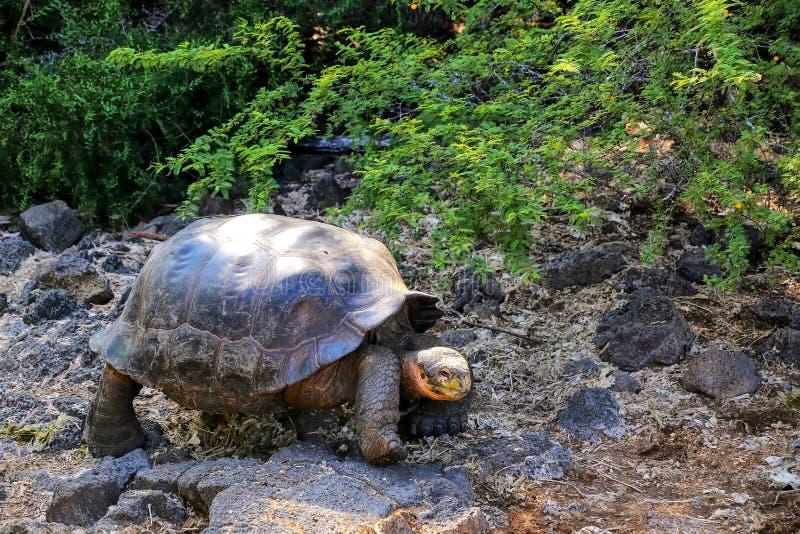 Tartaruga gigante di Galapagos a Charles Darwin Research Station sulla S immagini stock