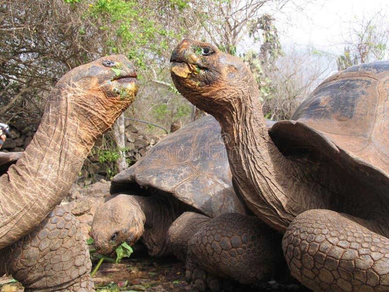 A tartaruga gigante Equador enfrenta fora no tempo da refeição imagens de stock