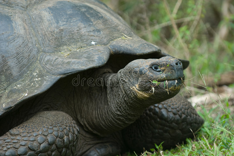 Tartaruga gigante, isole di galapagos, Ecuador fotografia stock