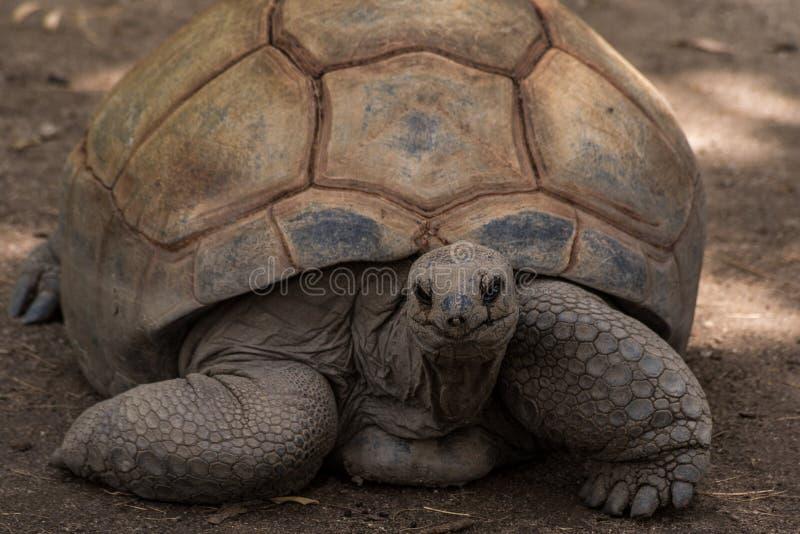 Tartaruga gigante fotos de stock royalty free