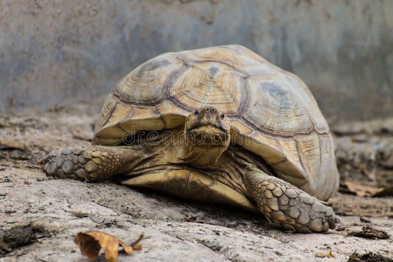 Tartaruga gigante no jardim zoológico de Chiangmai, Tailândia imagem de stock royalty free